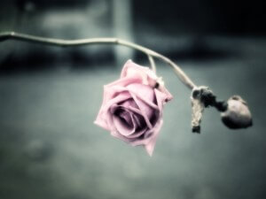 dried-pink-rose-1600-1200-6134